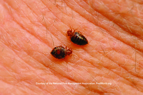 Infested by bed bugs